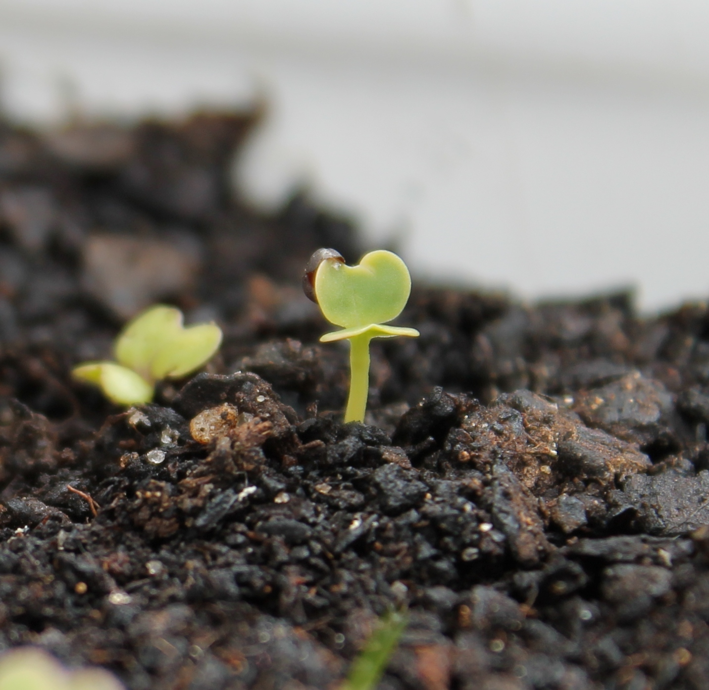 Seedling with seed case